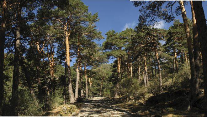 Pinares en la Sierra de Guadarrama.  (Sergio Prieto)