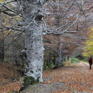 Ruta por el Hayedo el Rajao en el Valle de Tobía. Uno de los mayores hayedos de la Rioja.  (Francisco Javier Lado)