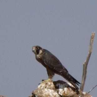 Ejemplar de halcón peregrino  ()
