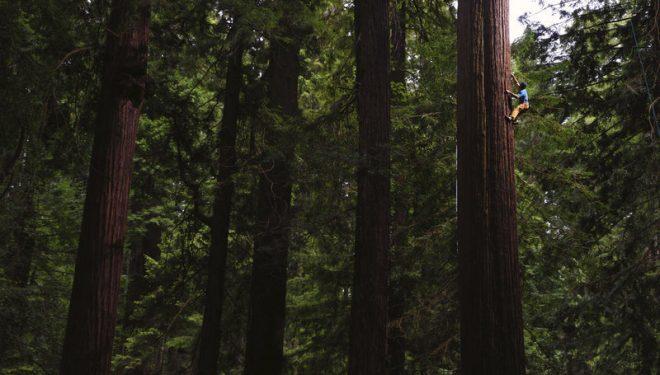 Chris Sharma escala en libre una secuoya gigante de California  (RedBull)