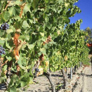 Las viñas ocupan prácticamente todo el espacio a un lado y otro de la vía verde del Campo de Borja  (Yöel Garin)
