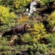 Un oso pardo fotografiado entre los árboles.  ()