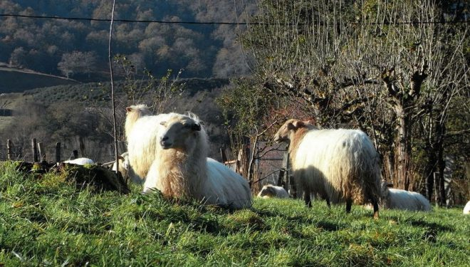 Ovejas larxas al pie del Camino Natural de Plazaola  (DIONI SERRANO)
