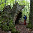 Excursionista adentrándose en Castañar de la Honfría