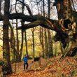 Castaños centenarios declarados Árboles Singulares en la ruta de los Castaños