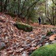 Una capa de hojas muertas de varios centímetros de grosor ocultan el sendero por los Bosques de Cepeda  (Javier R. Vázquez de Aldana)