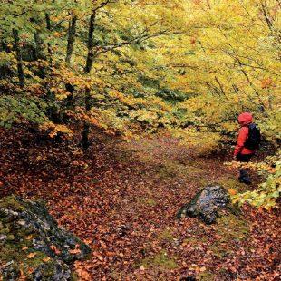 Las pequeñas sendas que recorren el hayedo de Llamazares desaparecen en otoño  (Anxo Rial)