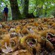 El otoño trae consigo castañas a la zona de Castañar de la Honfría